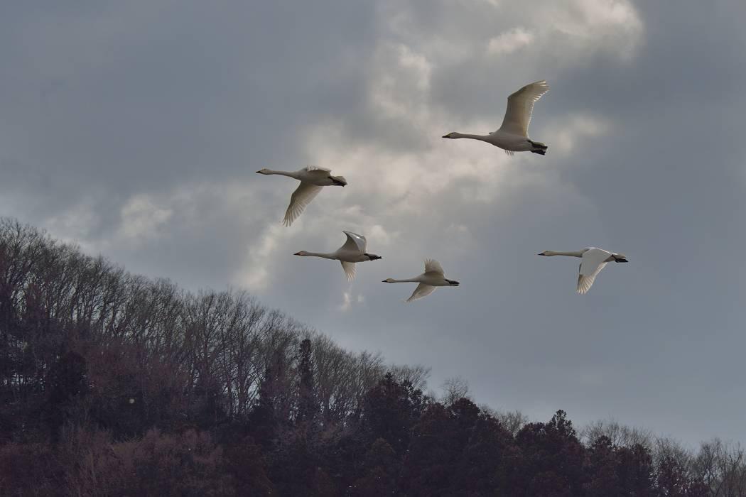 白鳥 ⑦_b0223668_1539163.jpg