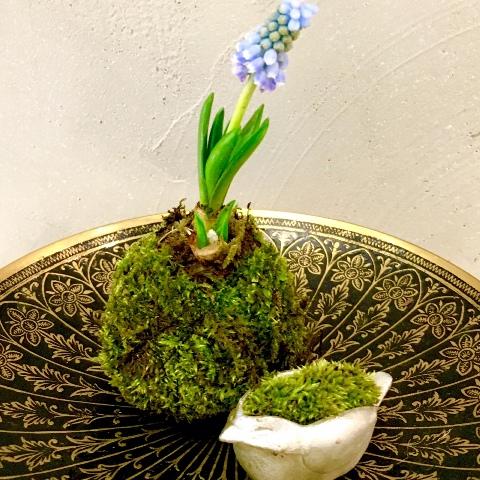 立春に ヒヤシンスの苔玉作り 春よこい♪_a0138976_19145984.jpg