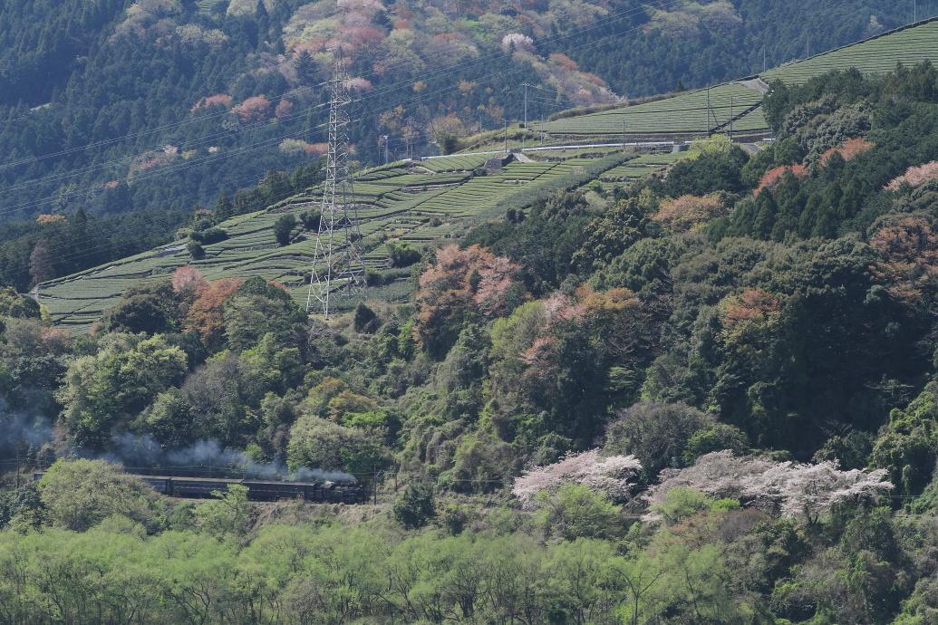 新緑と桜花の頃 - 大井川鐵道 -   _b0190710_23174296.jpg