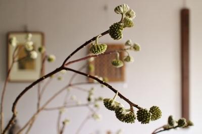 花だより ミツマタ・黒釉大壷_a0279848_17535740.jpg