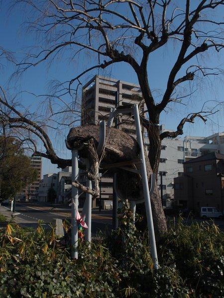 定点観測@鶴見橋東詰被爆樹_b0190540_1710392.jpg