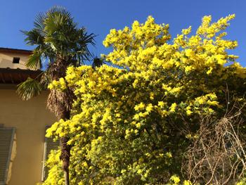 ミモザ満開*ちょっと早い春の訪れ_d0146108_2312024.jpg