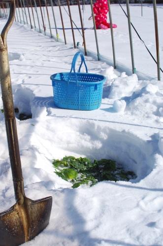 雪の下ほうれん草のオイル蒸し(バター炒め風味)_c0110869_1454458.jpg
