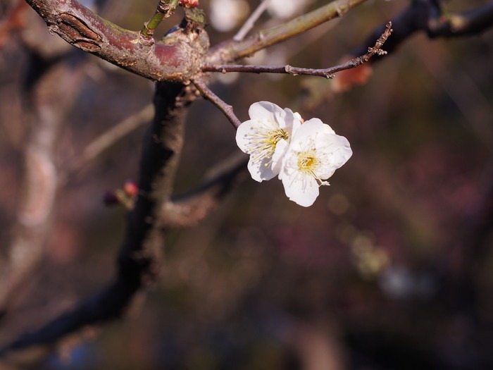 梅林寺の梅の花_a0149488_19184791.jpg