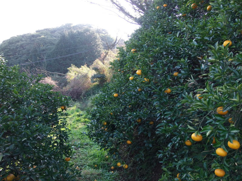 「甘夏」の収穫&「現場」作業。_a0125419_19513956.jpg