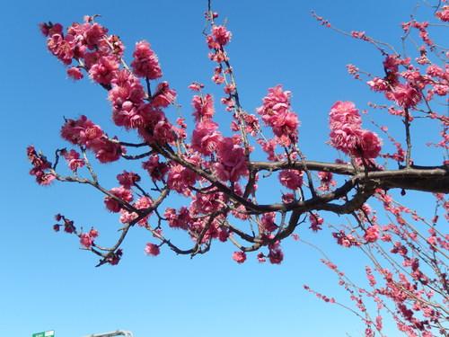 安心してください...咲いています!(梅)_b0137932_2026093.jpg