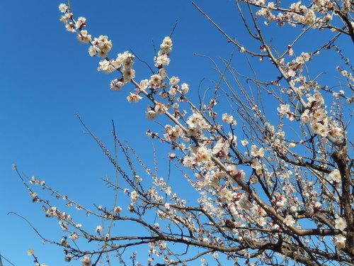 安心してください...咲いています!(梅)_b0137932_20264635.jpg