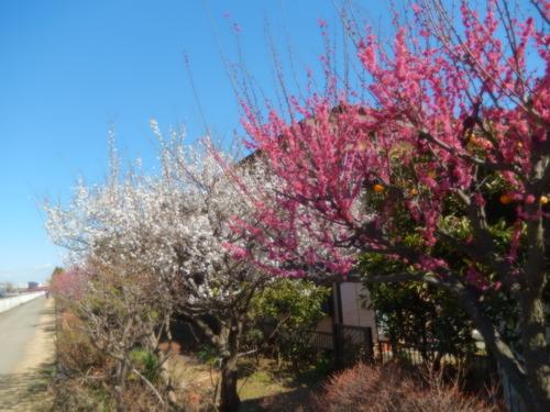 安心してください...咲いています!(梅)_b0137932_2035358.jpg