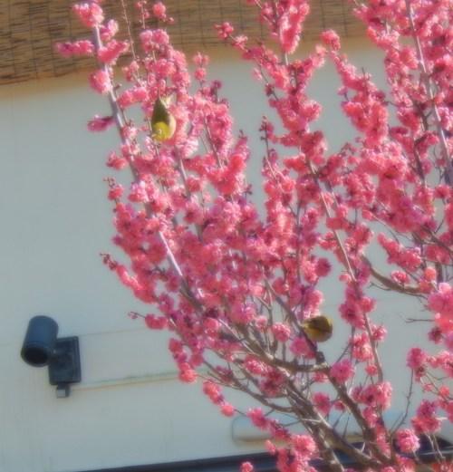 安心してください...咲いています!(梅)_b0137932_21133140.jpg
