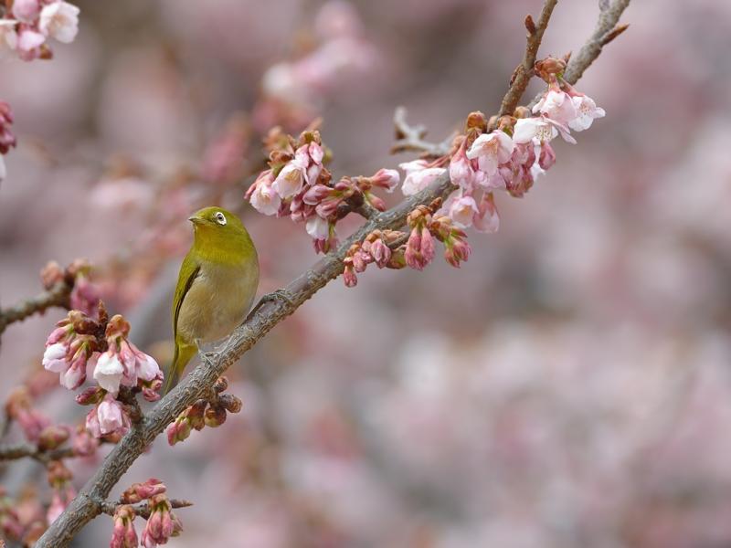 都内公園の寒桜とメジロたち_a0204089_17202777.jpg