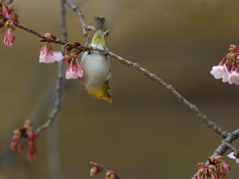 都内公園の寒桜とメジロたち_a0204089_17203549.jpg