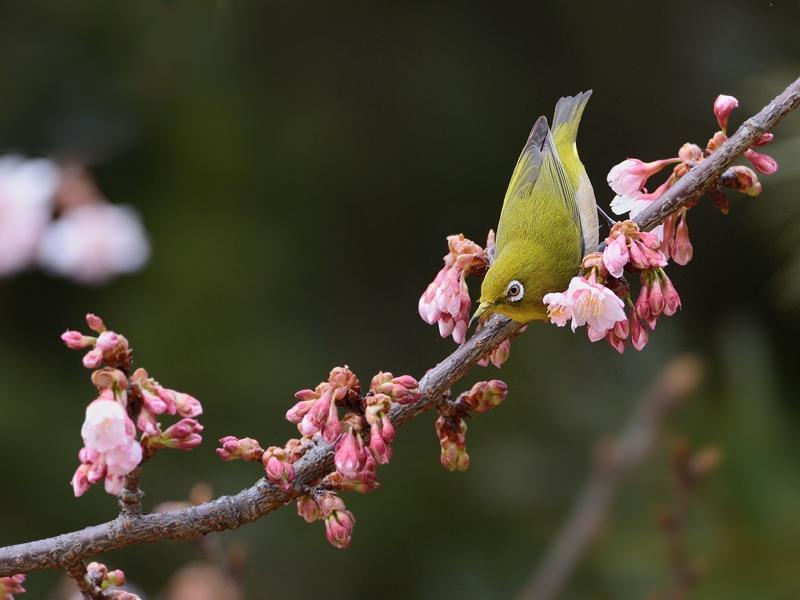都内公園の寒桜とメジロたち_a0204089_17204490.jpg