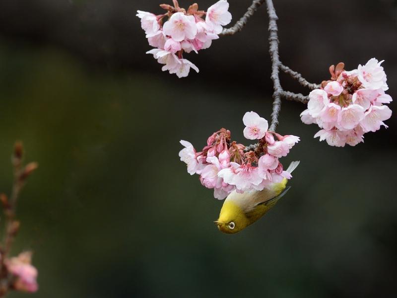 都内公園の寒桜とメジロたち_a0204089_17205471.jpg
