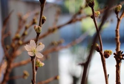 ウィンドウの桜だより_a0279848_17553083.jpg