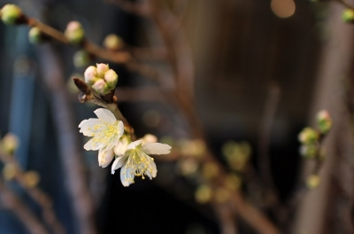 ウィンドウの桜だより_a0279848_17553353.jpg