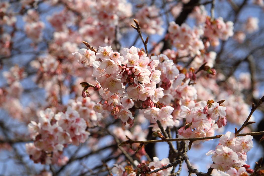 2016年 桜咲く_b0190710_22405325.jpg