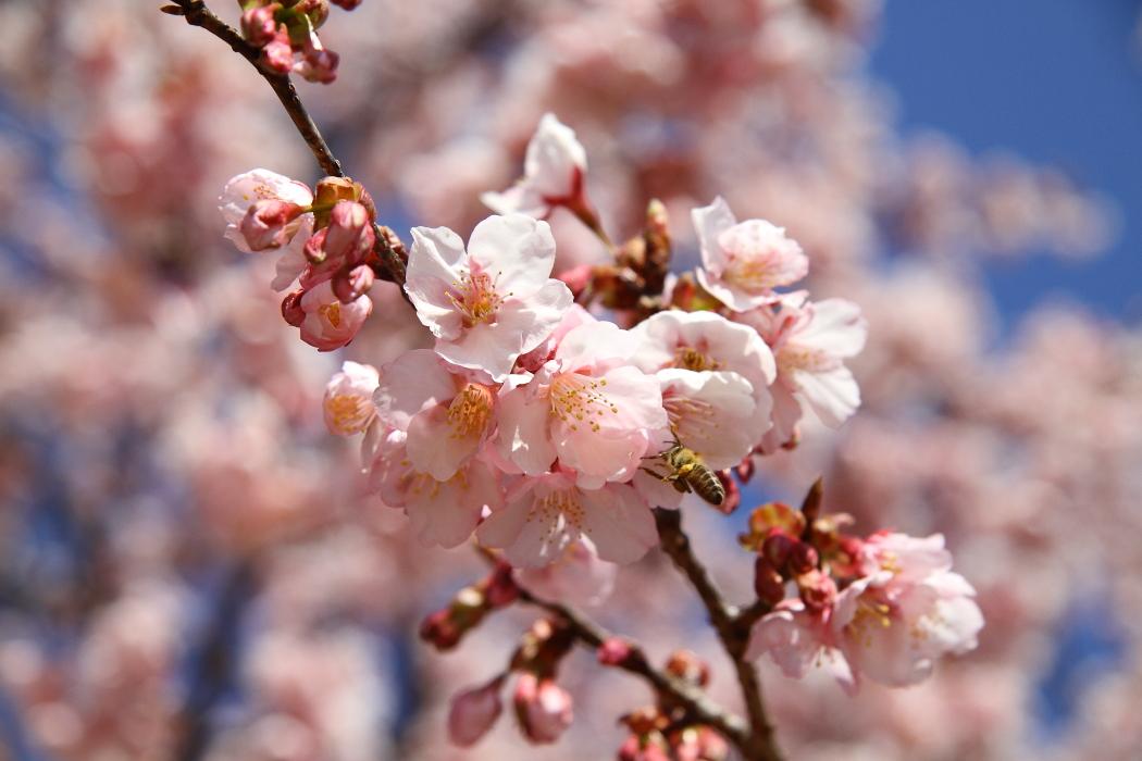 2016年 桜咲く_b0190710_22411567.jpg