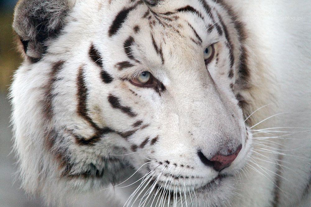 2016.2.13 宇都宮動物園☆ホワイトタイガーのアース【White tiger】_f0250322_2032245.jpg