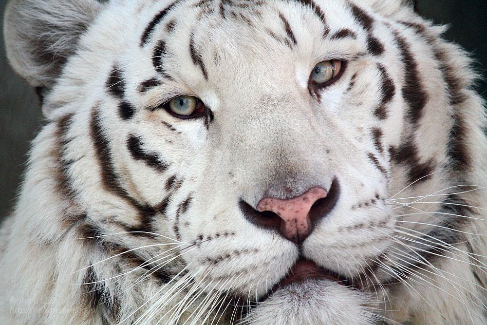 2016.2.13 宇都宮動物園☆ホワイトタイガーのアース【White tiger】_f0250322_2033251.jpg