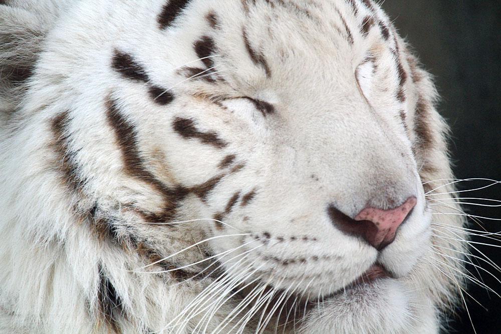 2016.2.13 宇都宮動物園☆ホワイトタイガーのアース【White tiger】_f0250322_2033857.jpg
