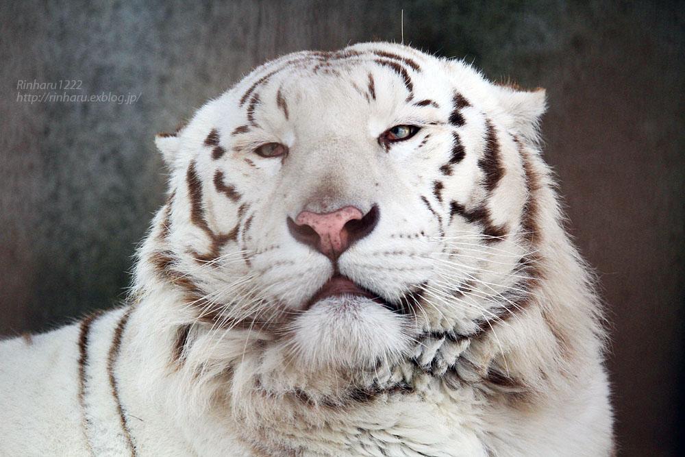 2016.2.13 宇都宮動物園☆ホワイトタイガーのアース【White tiger】_f0250322_2034131.jpg