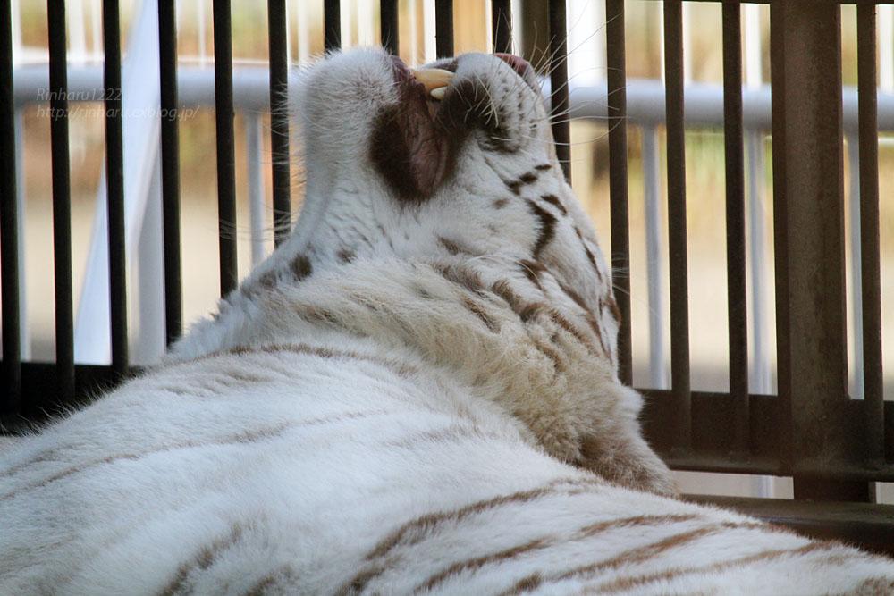 2016.2.13 宇都宮動物園☆ホワイトタイガーのアース【White tiger】_f0250322_2035326.jpg