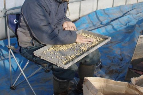 味噌作り用大豆の選別_c0110869_17565064.jpg