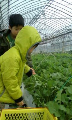 菜花の収穫作業_d0026905_9125288.jpg