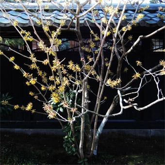 東慶寺の山茱萸 (さんしゅゆ)_c0195909_14593733.jpg