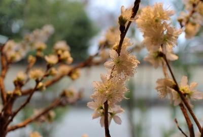 ウィンドウの桜だより 2_a0279848_18065833.jpg