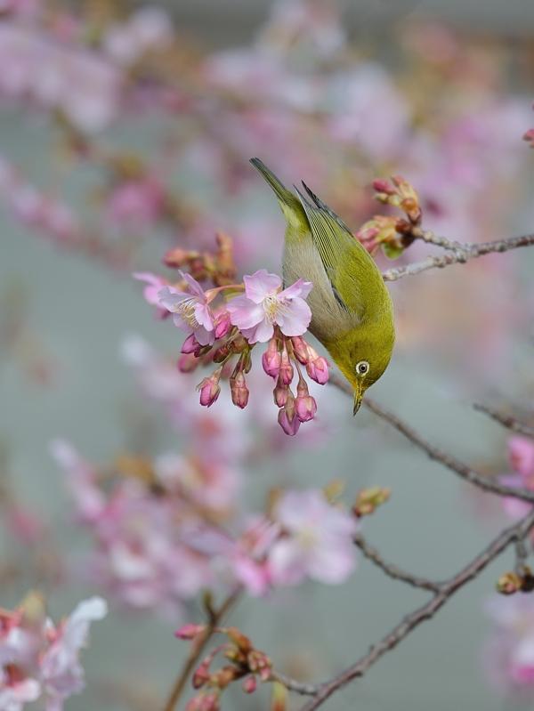 地元の河津桜とメジロたち_a0204089_6251279.jpg