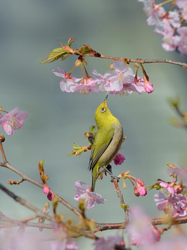 地元の河津桜とメジロたち_a0204089_6252495.jpg