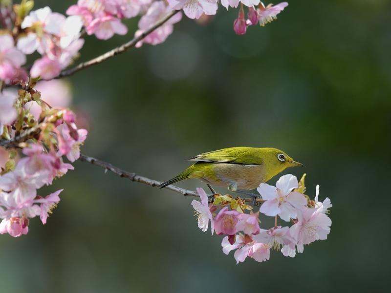 地元の河津桜とメジロたち_a0204089_6253431.jpg