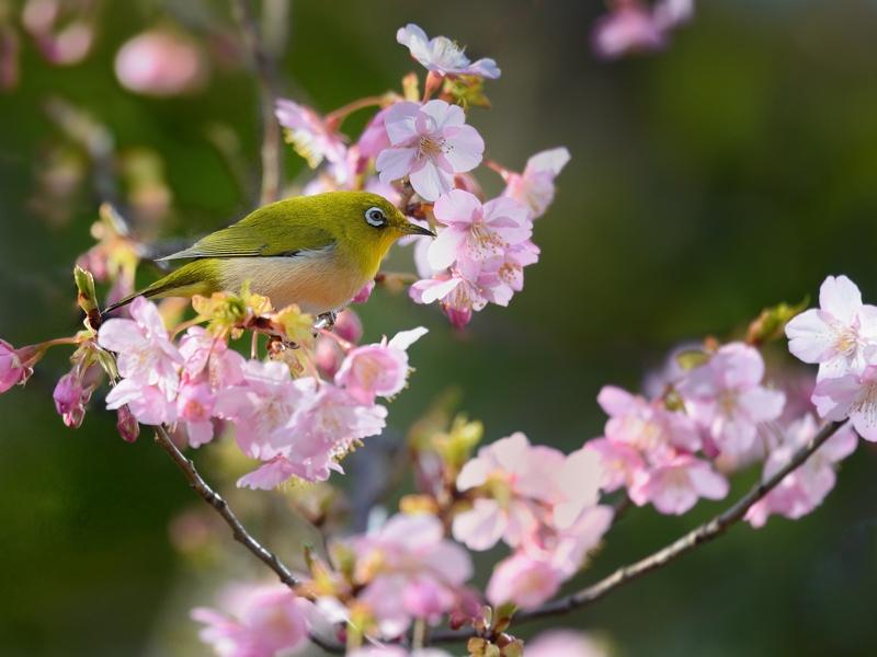 地元の河津桜とメジロたち_a0204089_6254390.jpg