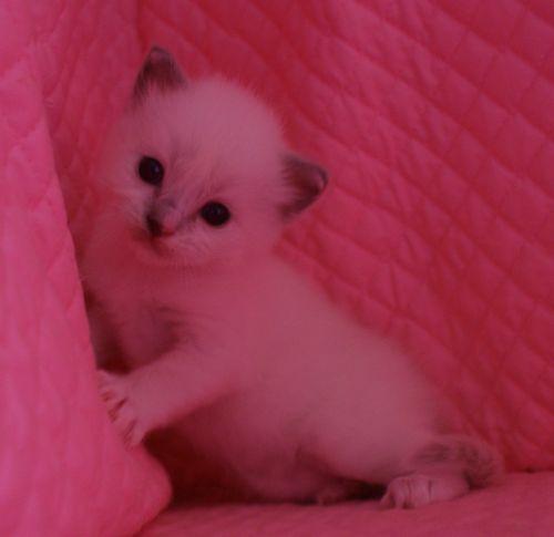 ラグドール子猫 ブルーポイントミテッド男の子家族募集_e0033609_15342111.jpg
