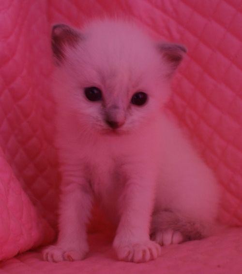 ラグドール子猫 ブルーポイントミテッド男の子家族募集_e0033609_15343097.jpg