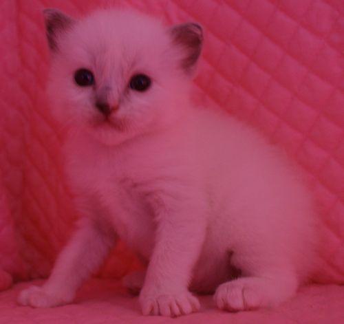 ラグドール子猫 ブルーポイントミテッド男の子家族募集_e0033609_15344041.jpg