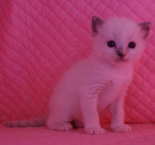ラグドール子猫 ブルーポイントミテッド男の子家族募集_e0033609_15345053.jpg