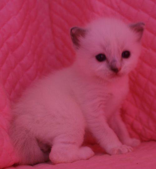 ラグドール子猫 ブルーポイントミテッド男の子家族募集_e0033609_1534893.jpg