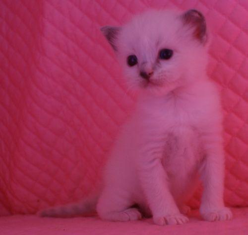 ラグドール子猫 ブルーポイントミテッド男の子家族募集_e0033609_1535721.jpg
