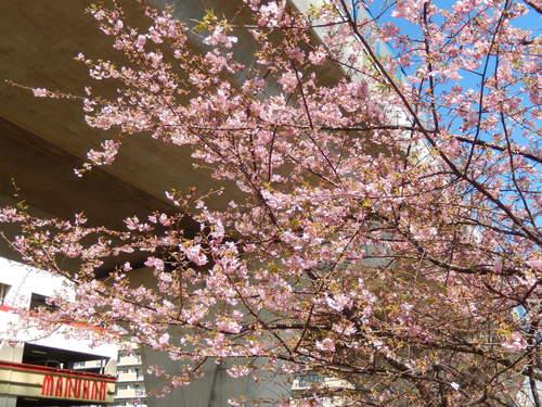 河津桜は満開..._b0137932_1257428.jpg