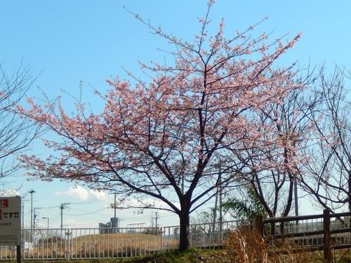 河津桜は満開..._b0137932_12584436.jpg