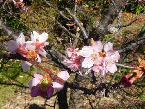 河津桜は満開..._b0137932_12592478.jpg