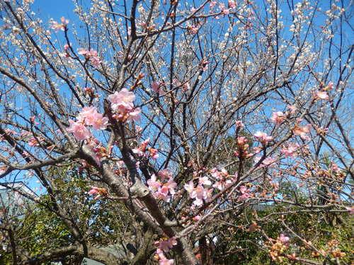 河津桜は満開..._b0137932_12595651.jpg