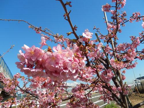 河津桜は満開..._b0137932_1354589.jpg