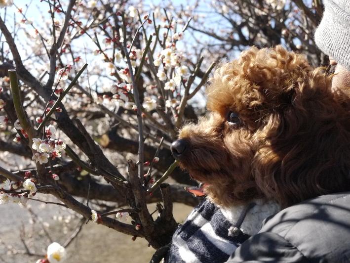 チョコとお散歩『百梅園』へGO!_e0159185_1832265.jpg