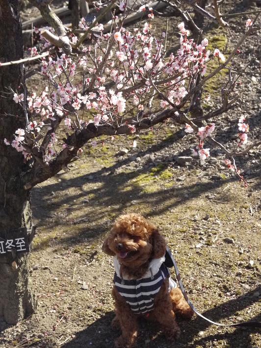 チョコとお散歩『百梅園』へGO!_e0159185_18335830.jpg