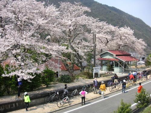 まだまだ寒いですが、4月の『お花見ポタリング』のイベント企画の案内です。_b0332867_15325324.jpg