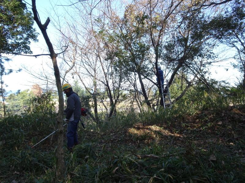 ヤマザクラを守る間伐継続中 in うみべの森_c0108460_23201685.jpg