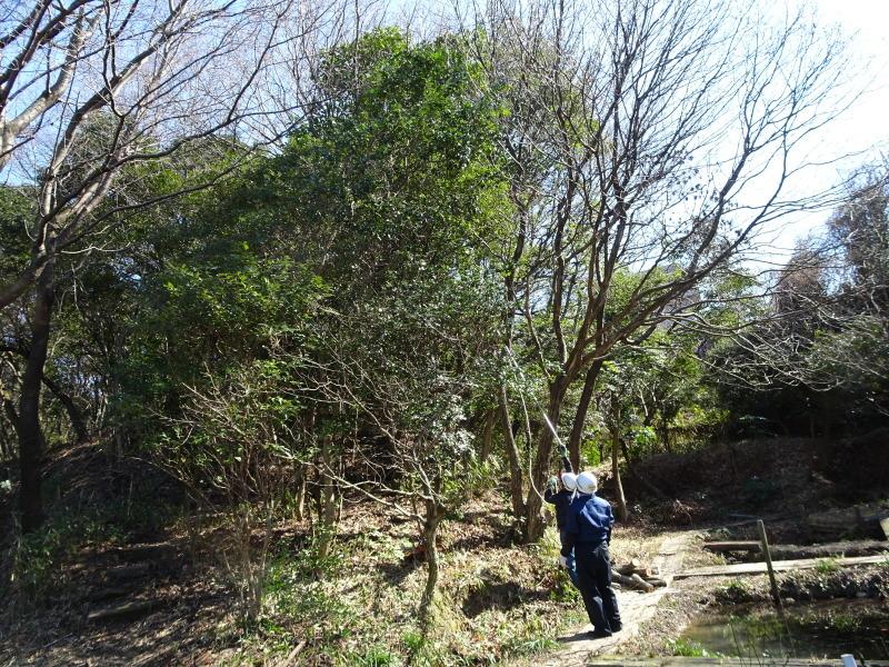 ヤマザクラを守る間伐継続中 in うみべの森_c0108460_23352566.jpg